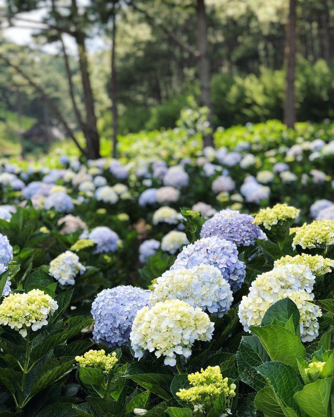 ladang bunga hydrangea